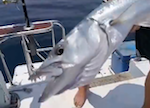Barracuda 12 kg - Island Racha Noi